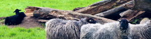 schwarze Schafe im Neuromarketing